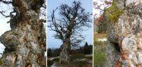20-Anfang-Dez-16-Charakterbaum-am-Rindlschachten