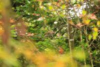 H59_Ein_Haselhahn_zwischen_den_Zweigen_-_Sie_halten_eine_kurze_Herbstbalz