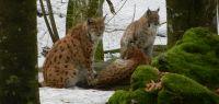 75-jan-18---Luchsmutter-mit-Nachwuchs-im-Tierfreigehege-des-Nationalparks-BW-ft