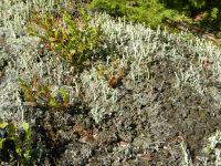 085-Cladonia_Flechten-mit-trompetenfrmigen-Strukturen-auf-Gesteinsbloecken-der-Blockmoraenen---ft