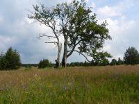 096-alter-Ahorn-am-Suedhang-des-Ahornberges----das-Dorf-Haidl-wurde-Opfer-des-kalten-Krieges---ft