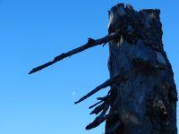 031-der-Mond-kommt-wieder---die-alte-Schachtenfichte-auch---als-Naehrboden-fuer-andere---ft