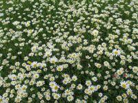 005-Blumenwiese-in-Mitterfelser-Garten-cbw