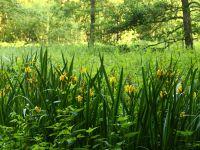 021-Wasserschwertlilien-in-den-Kinsachauen---bm