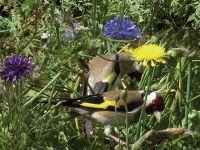 025-Stieglitze-in-der-Blumenwiese-unseres-Gartens---rb